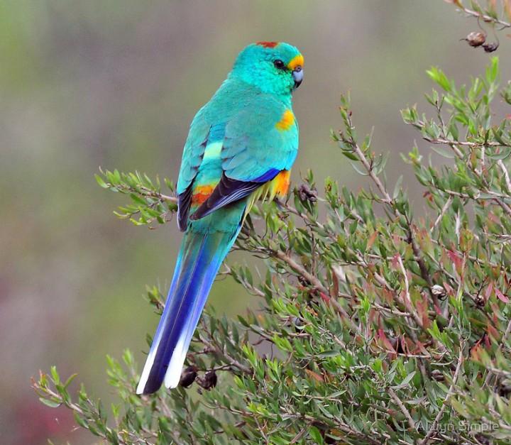 بالصور اجمل الطيور في العالم , طيور سبحان الله 4249 5