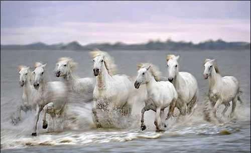 صور زمن الخيول البيضاء , صور لخيول بيضاء تحفة