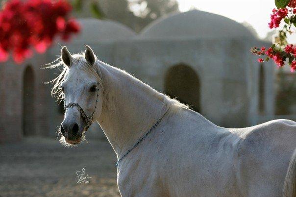 بالصور زمن الخيول البيضاء , صور لخيول بيضاء تحفة 3613 12
