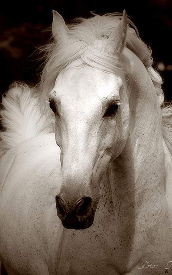 بالصور زمن الخيول البيضاء , صور لخيول بيضاء تحفة 3613 13