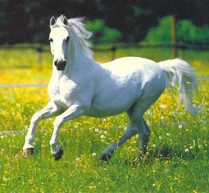 بالصور زمن الخيول البيضاء , صور لخيول بيضاء تحفة 3613 15
