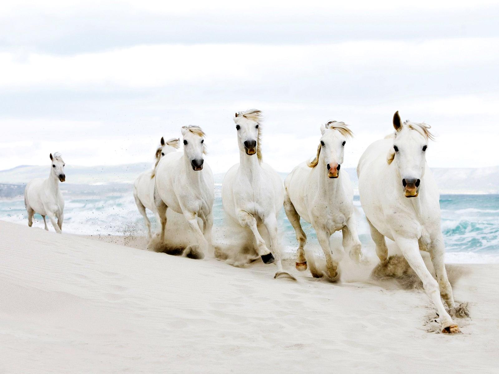 بالصور زمن الخيول البيضاء , صور لخيول بيضاء تحفة 3613 18