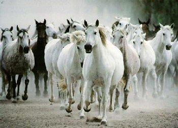بالصور زمن الخيول البيضاء , صور لخيول بيضاء تحفة 3613 19