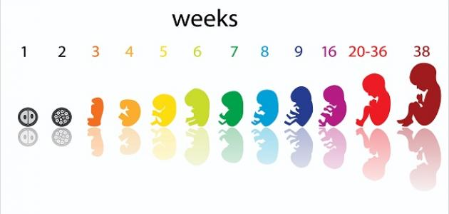 صوره حساب الحمل بالاسابيع , تعلمي حساب شهور حملك