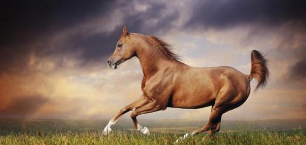 صورة الخيل العربي الاصيل , صور اكثر من رائعه للخيول العربيه