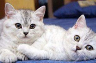 بالصور كيفية تربية القطط , تعرف علي طريقة تربية قطة بمنزلك 1904 2 310x205