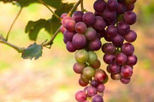 صوره فوائد العنب الاحمر , فوائد مذهلة للعنب
