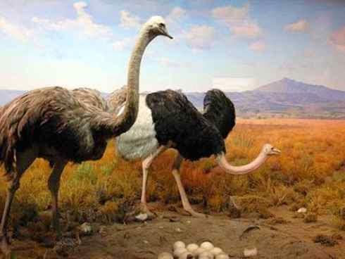 صورة اكبر طائر في العالم , معلومات عن اكبر الطيور
