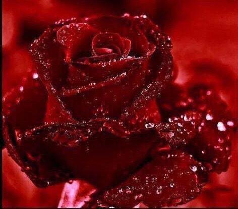 بالصور ورود جميلة , اجمل صور الورود فى العالم 500 7