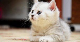صوره اجمل صور قطط , قطط ذات جمال رائع
