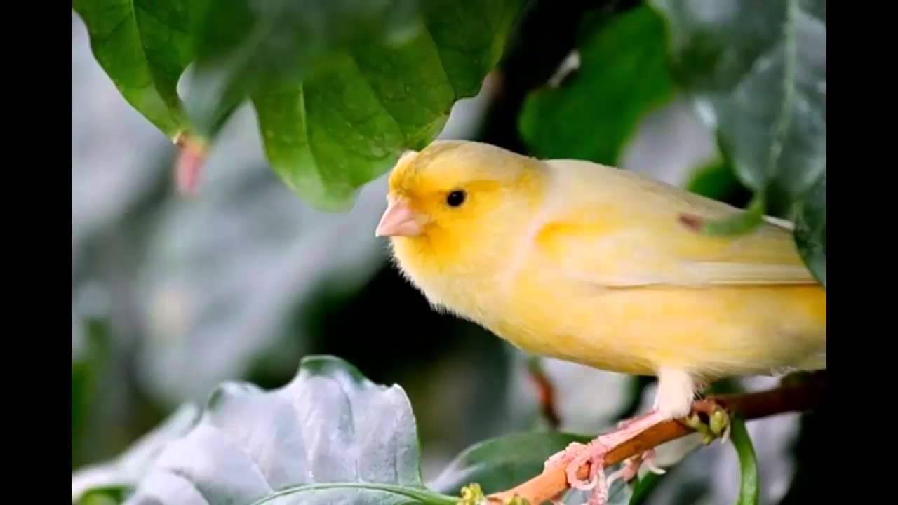 صور صور كناري , صوره طائر كنارى رائع