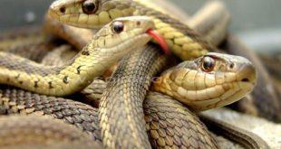 صور اكبر ثعبان في العالم , صور اضخم الثعابين الموجوده فى العالم