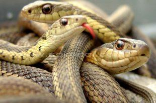 صورة اكبر ثعبان في العالم , صور اضخم الثعابين الموجوده فى العالم