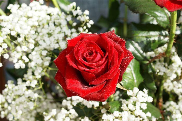 بالصور كلمات من ورود , اروع صور الورد المكتوب عليها عبارات جميلة 746 13