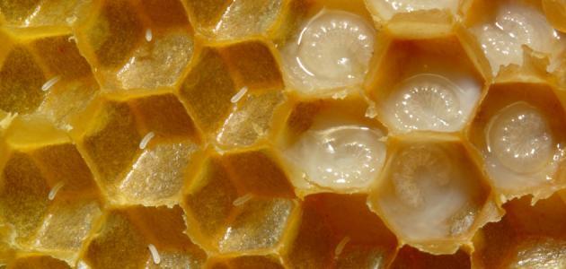 صوره فوائد غذاء ملكات النحل , ماهى الفوائد الغذائيه لملكات النحل