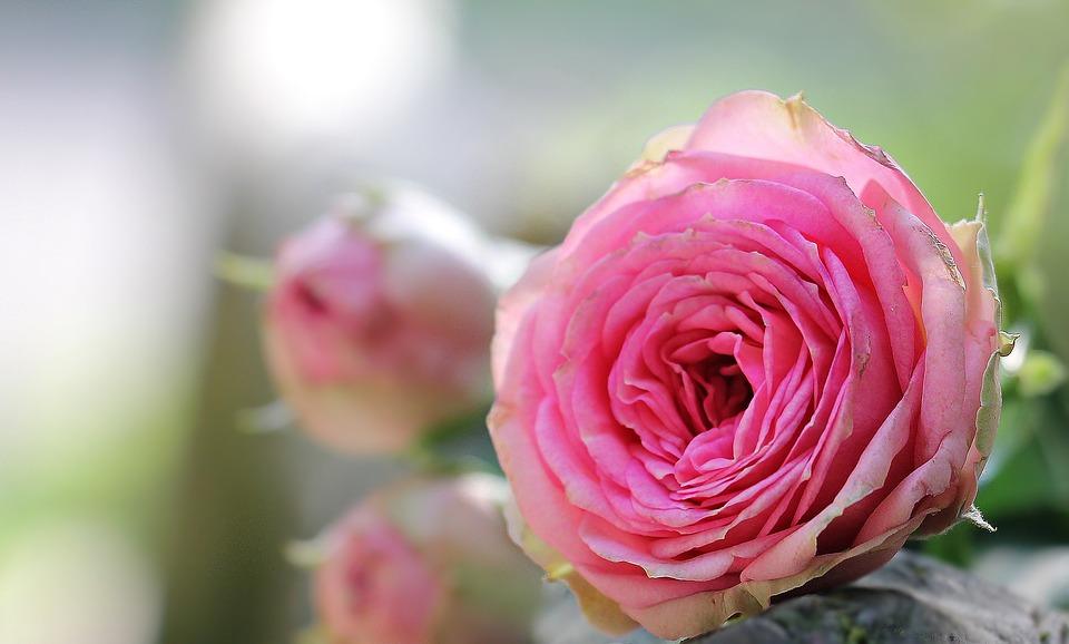 بالصور اجمل صور ورد , اجمل زهور لبوستات الحب 1444 6
