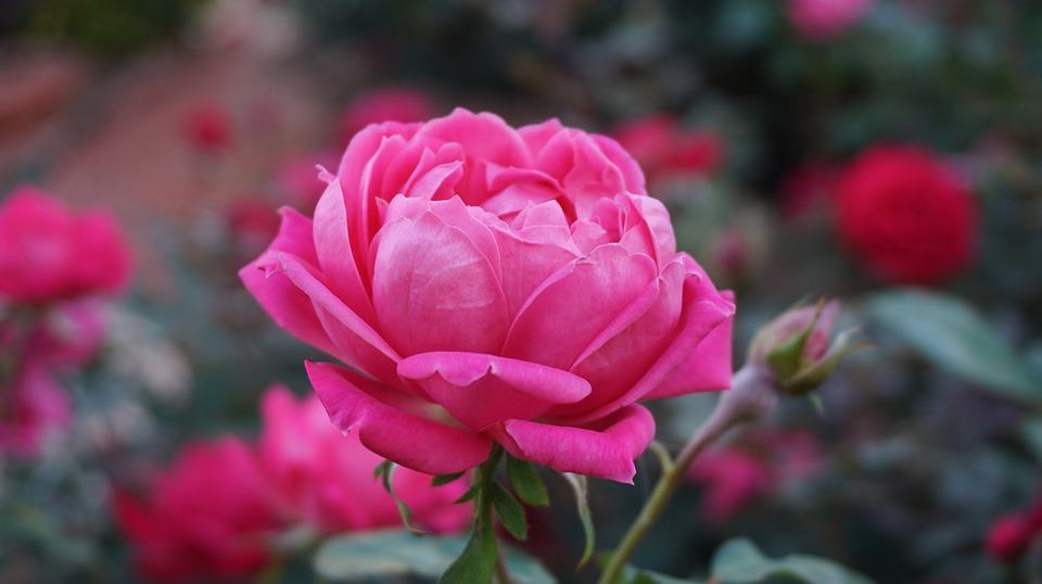 بالصور اجمل صور ورد , اجمل زهور لبوستات الحب 1444 7