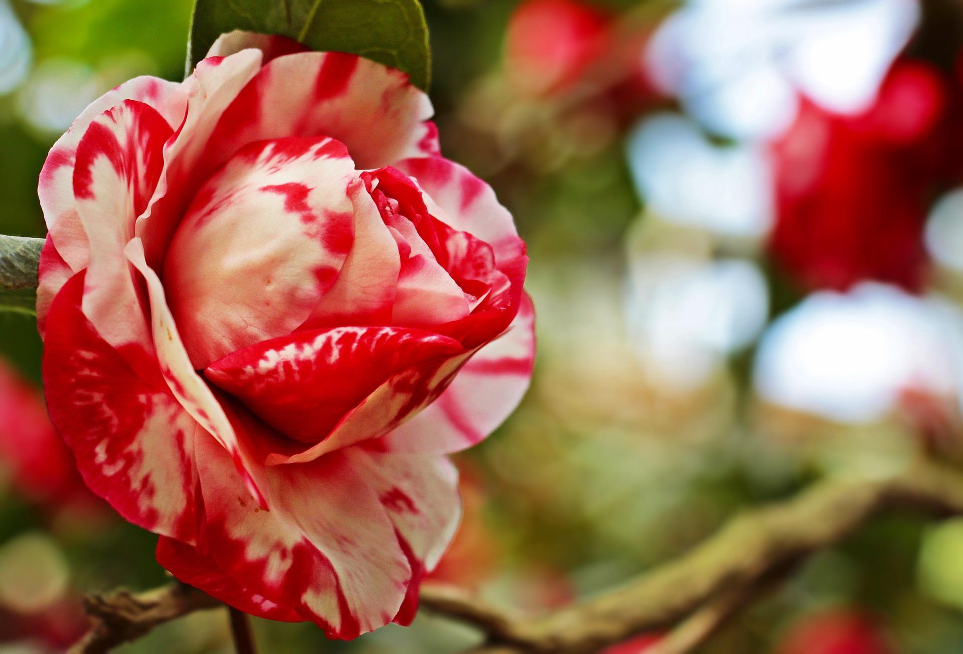 بالصور صور ورود جميلة , اجمل صور للورد 3265 3