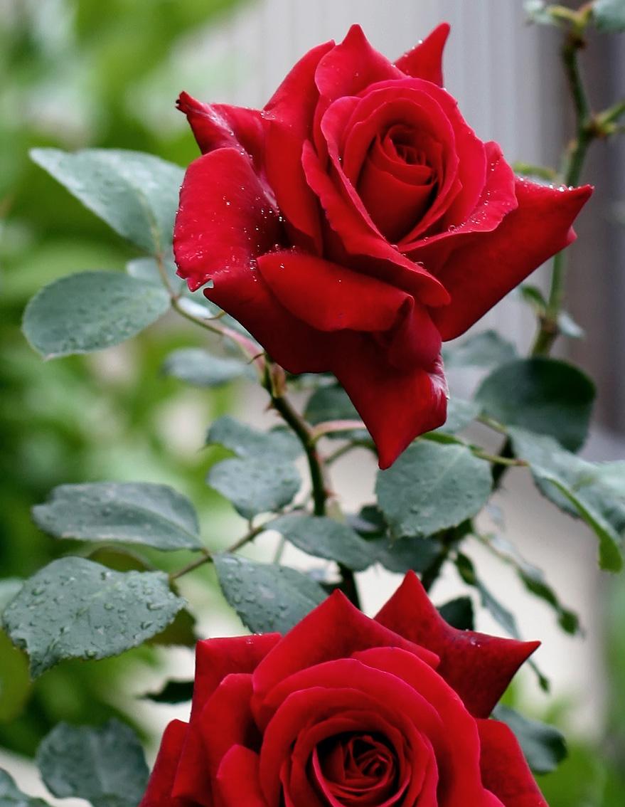بالصور صور اجمل ورد , اجمل صور لبوكيهات الورد 3493 2