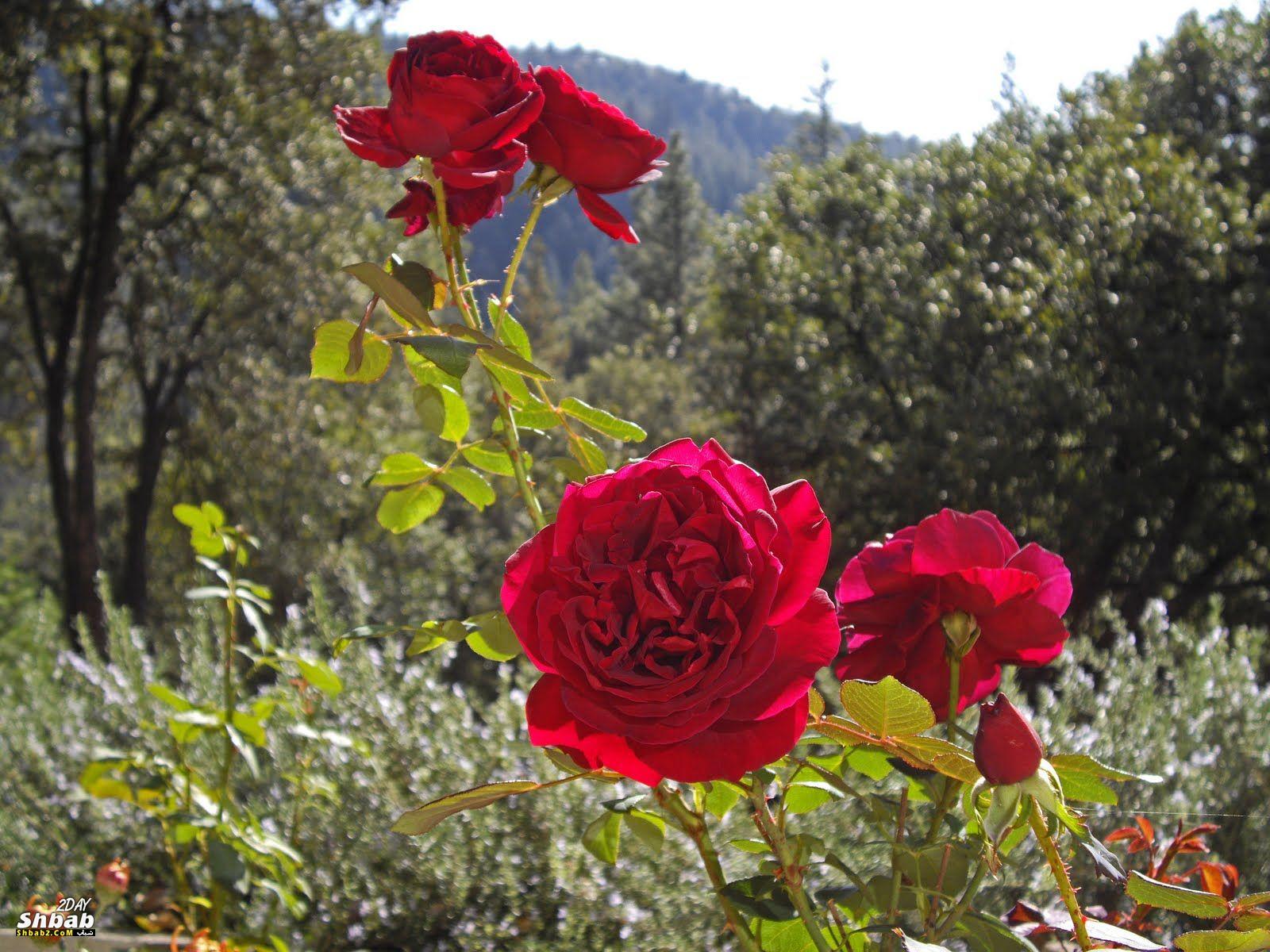 بالصور صور اجمل ورد , اجمل صور لبوكيهات الورد 3493 4