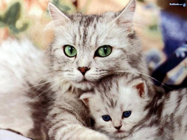 بالصور صور قطط جميلة , كائنات البهجه في المنازل 429 1
