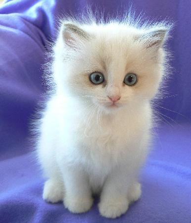 بالصور صور قطط جميلة , كائنات البهجه في المنازل 429 13