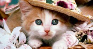 بالصور صور قطط جميلة , كائنات البهجه في المنازل 429 14 310x165