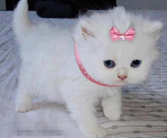 بالصور صور قطط جميلة , كائنات البهجه في المنازل 429 2