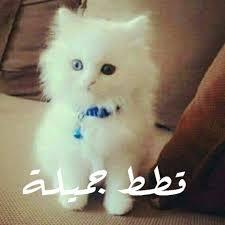 بالصور صور قطط جميلة , كائنات البهجه في المنازل 429 7