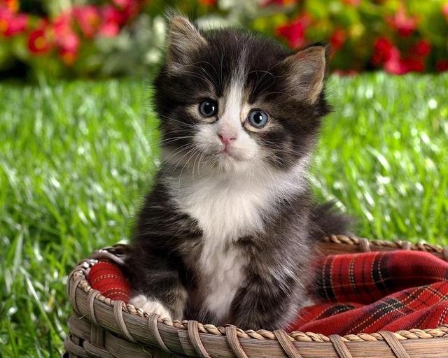 بالصور صور قطط جميلة , كائنات البهجه في المنازل 429 9