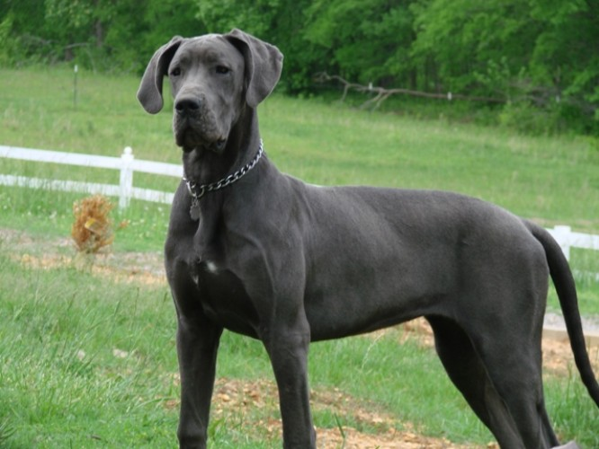 بالصور اشرس انواع الكلاب , كلاب لا تمتلك الرحمه 521 10