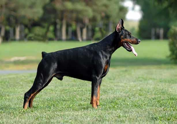 بالصور اشرس انواع الكلاب , كلاب لا تمتلك الرحمه 521 2