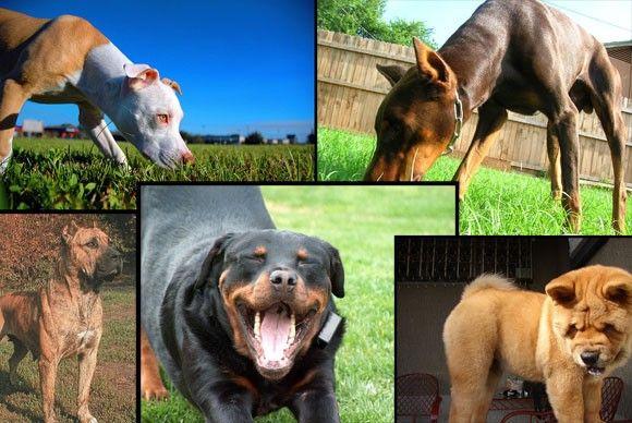 بالصور اشرس انواع الكلاب , كلاب لا تمتلك الرحمه 521 6