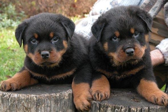 بالصور اشرس انواع الكلاب , كلاب لا تمتلك الرحمه 521 7