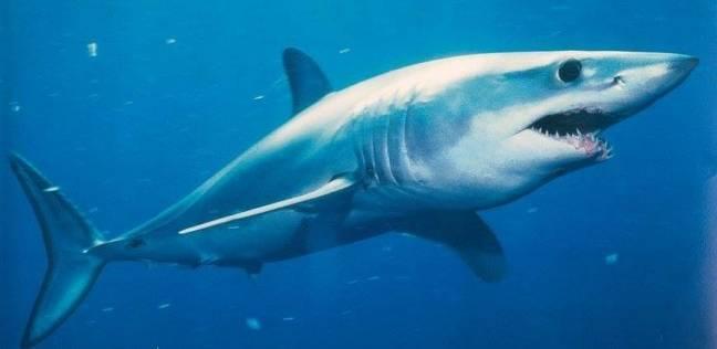 بالصور صور سمك القرش , معلومات وصور عن سمكة القرش 2438 1