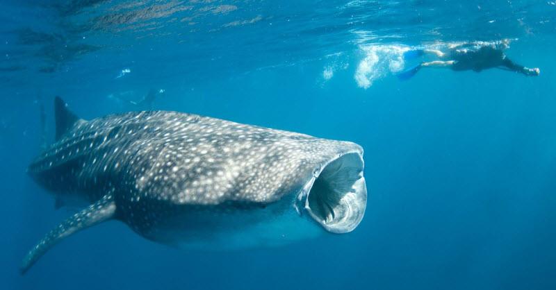 بالصور صور سمك القرش , معلومات وصور عن سمكة القرش 2438 10