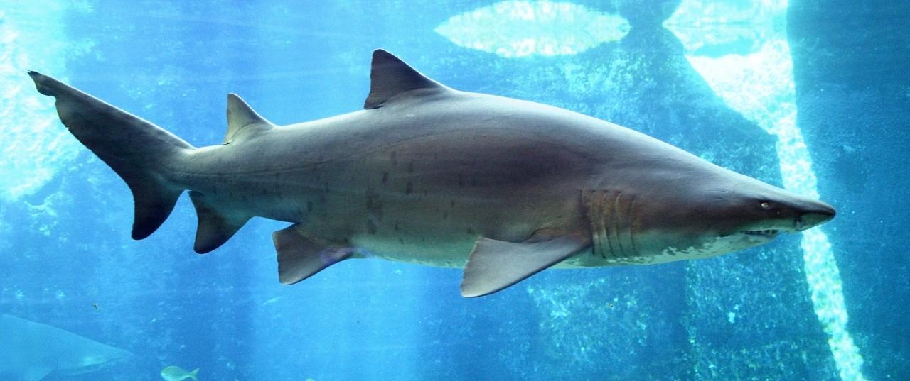 بالصور صور سمك القرش , معلومات وصور عن سمكة القرش 2438 11