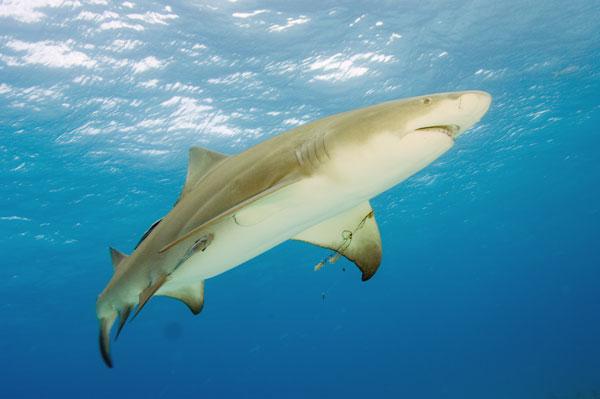 بالصور صور سمك القرش , معلومات وصور عن سمكة القرش 2438 12