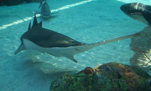 بالصور صور سمك القرش , معلومات وصور عن سمكة القرش 2438 2