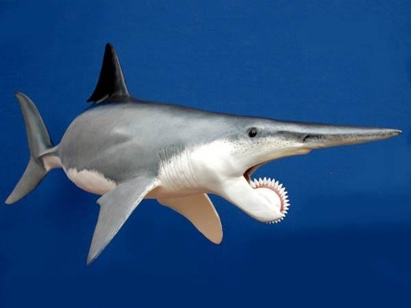بالصور صور سمك القرش , معلومات وصور عن سمكة القرش 2438 4