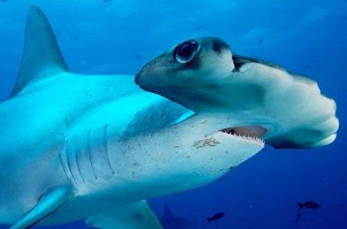 بالصور صور سمك القرش , معلومات وصور عن سمكة القرش 2438 500x330