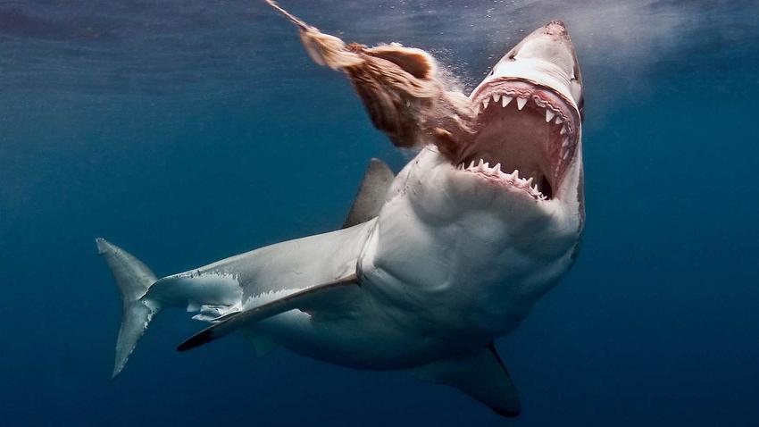 بالصور صور سمك القرش , معلومات وصور عن سمكة القرش 2438 7