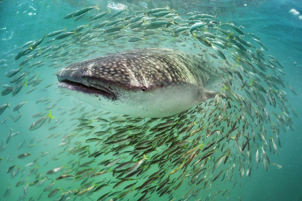 بالصور صور سمك القرش , معلومات وصور عن سمكة القرش 2438 8