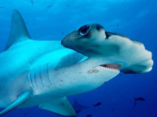 بالصور صور سمك القرش , معلومات وصور عن سمكة القرش 2438