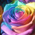 نتيجة بحث الصور عن اجمل وردة فى العالم