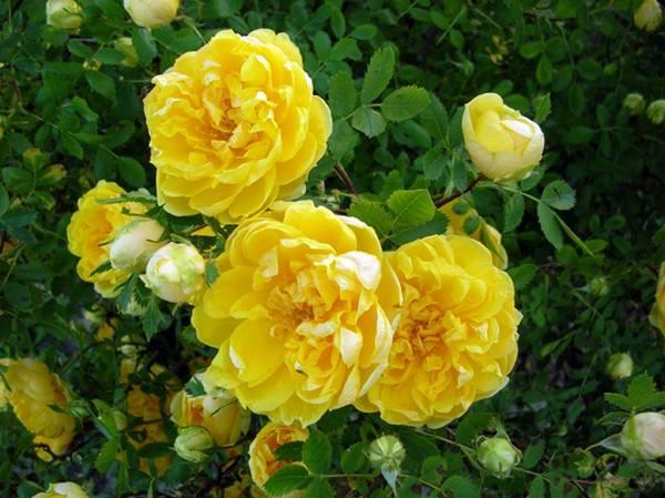 بالصور اجمل وردة في العالم , تعرف علي اجمل وردة علي سطح الارض 2596 15