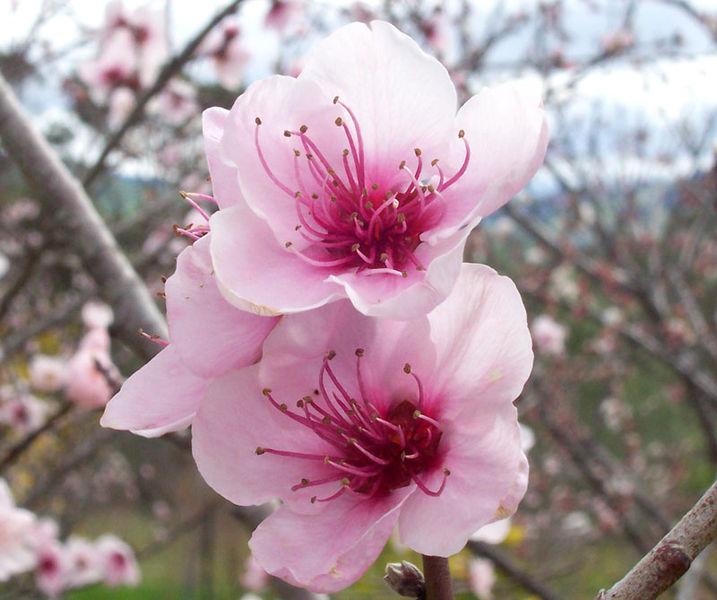 بالصور اجمل وردة في العالم , تعرف علي اجمل وردة علي سطح الارض 2596 16