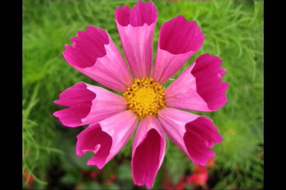 بالصور اجمل وردة في العالم , تعرف علي اجمل وردة علي سطح الارض 2596 18