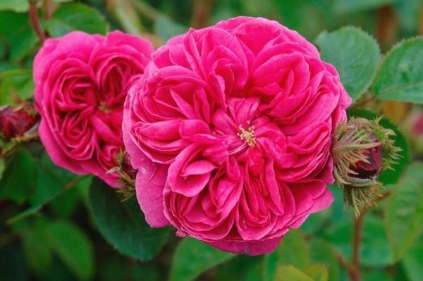بالصور اجمل وردة في العالم , تعرف علي اجمل وردة علي سطح الارض 2596 2