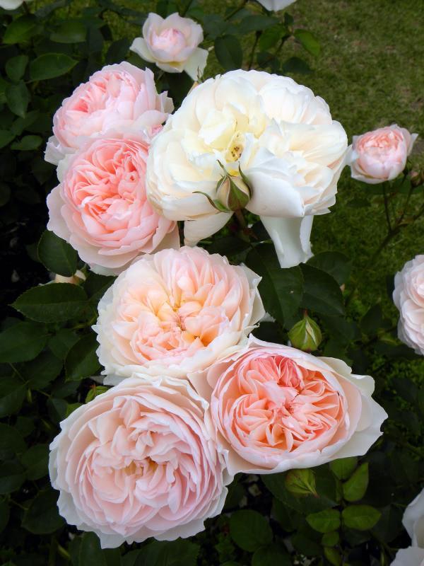 بالصور اجمل وردة في العالم , تعرف علي اجمل وردة علي سطح الارض 2596 3
